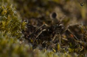 Pardosa-sp-armentata