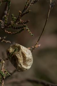 sac Argiope bruennichi site