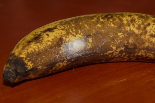 banaan met cocon