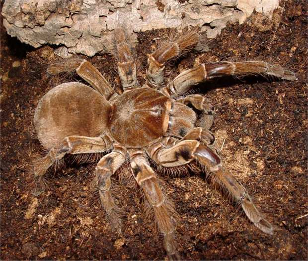 theraphosa_blondi_female4
