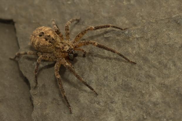 Deze afbeelding heeft een leeg alt-atribuut; de bestandsnaam is zoropsis-spinimana-vrouw4.jpg